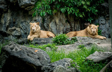 Two Lions On Rock Mountain