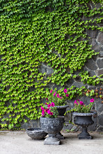 The Stone Wall Is Covered With A Wild Grapes