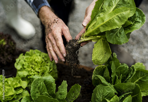 Hands picking organic fresh agricultural lettuce