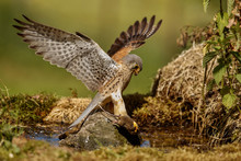Common Kestrel Hunting Little ...