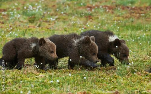 Obrazy na płótnie Canvas THree Brown bear cubs