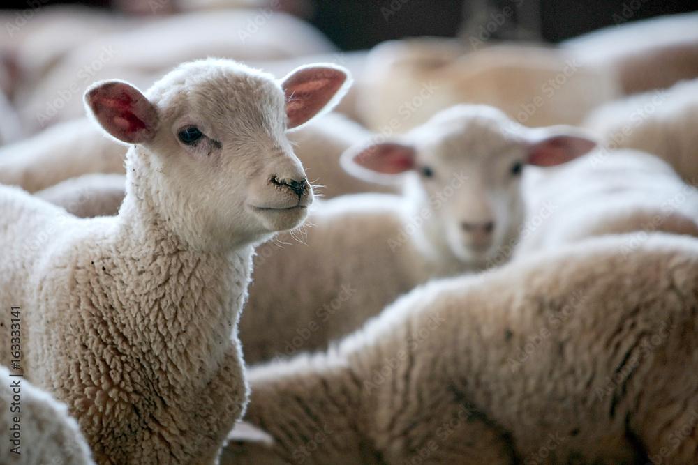 Fototapety, obrazy: Fazenda de ovinocultura