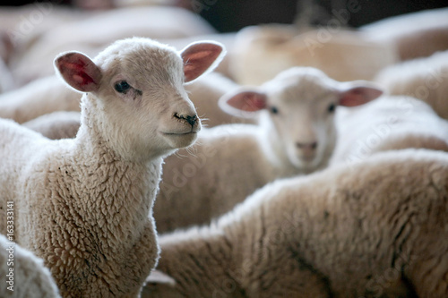 Keuken foto achterwand Schapen Fazenda de ovinocultura