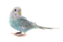 Common Pet Parakeet