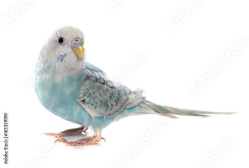 Fotografia common pet parakeet