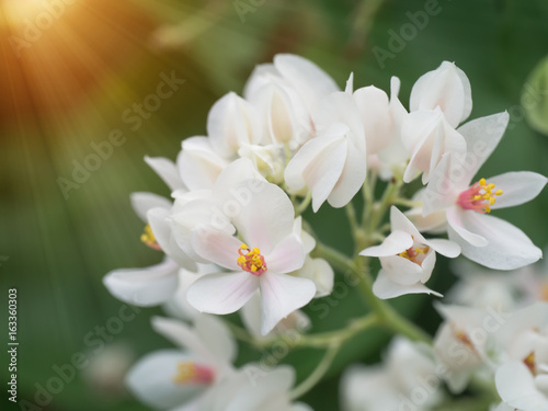 Poster de jardin Nénuphars Glow flower of White Mexican Creeper in the garden.