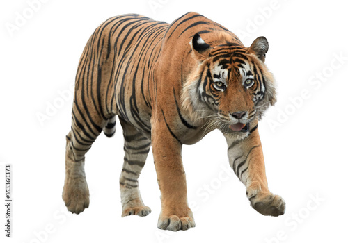 Male of Bengal tiger, Panthera tigris, isolated on white background Canvas Print