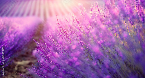 Lavender field in Provence, France. Blooming violet fragrant lavender flowers
