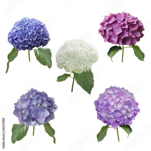 Staande foto Hydrangea hydrangea flowers set