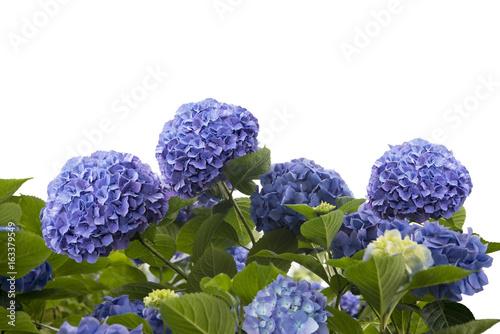 Wall Murals Hydrangea blue hydrangea flowers