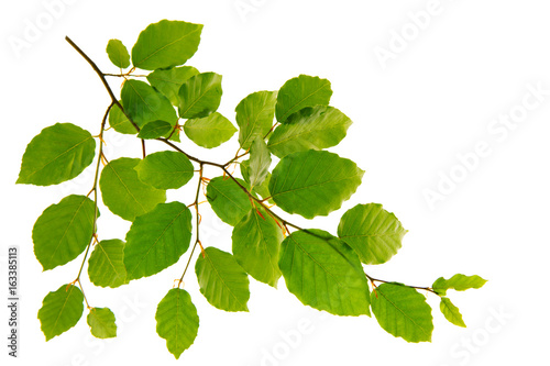 Obraz Green leaves isolated on white background. - fototapety do salonu
