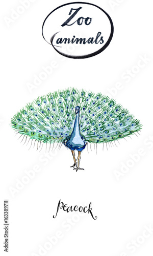 Male peacock with open tail in watercolor