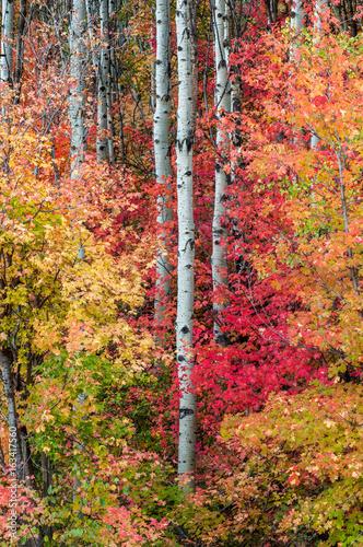 Poster Berkbosje Autumn colors in Utah Forest
