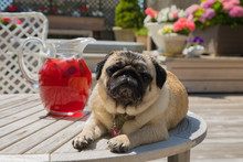 Cute Pug Posing With Glass Pitcher Of Brewing Sun Tea On Outdoor Deck With Flowers In Background