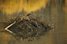 American Beaver (Castor Canade...