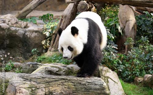 Photo  A Giant Panda walking around, Hong Kong, China