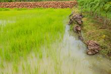 Cornfieldin ,thailand