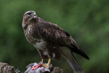 Common Buzzard (Buteo Buteo)/C...