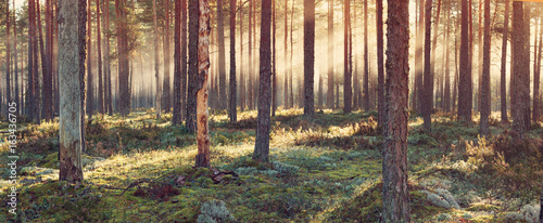 Aluminium Prints Autumn Coniferous forest with morning sun shining in the morning