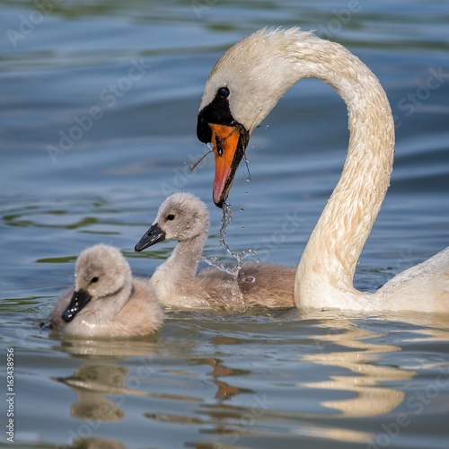 Close up of mute swans family (Cygnus olor)