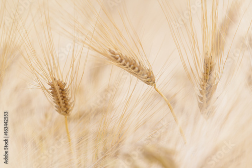 Fotografie, Obraz  Ähren im Getreidefeld in unscharfem Hintergrund