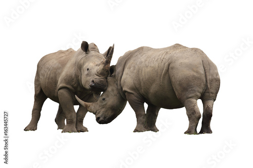 Spoed Foto op Canvas Neushoorn Two rhinoceros fighting cut out and isolated on a white background