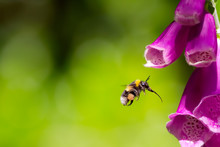 Bee Flying Towards Foxglove Flower. Bumblebee Hovering At Garden Flower. Macro Photography.
