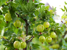 Green Gooseberry On A Branch I...