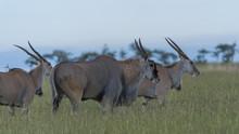 Group Of Common Eland (Taurotr...