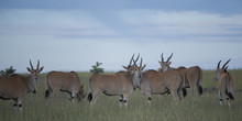 Group Of Common Eland (Taurotragus Oryx),  Standing In Green Grass, Facing Camera, One With Mouth Open Showing Teeth, With Blue Sky In Background. Masai Mara, Kenya, Africa