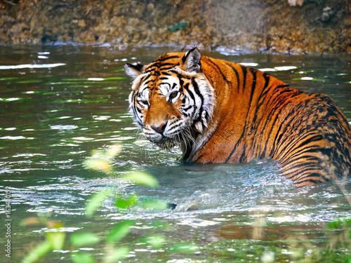 Obrazy na płótnie Canvas Tigre