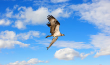 Osprey Flying With A Large Fish In Talons In The Clouds