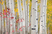 A Forest Of Aspen Trees In The Fall With Bright Yellow Leaves