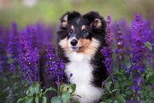 Beautiful Sheltie Puppy Portra...