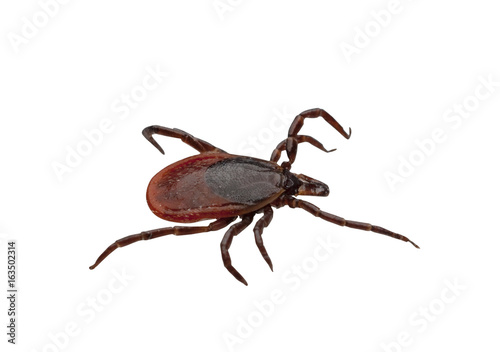 Photo Close-up of isolated ixodid tick on a white background