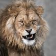 African Lion V