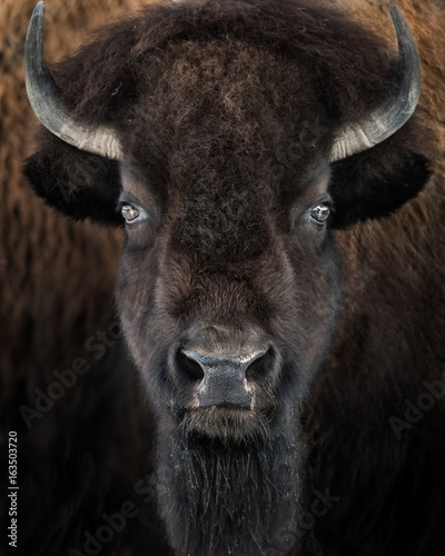 Photo sur Toile Buffalo American Bison II