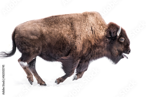 Spoed Fotobehang Buffel American Bison in Snow IV