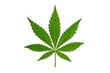 Marijuana Leaf On White Backgr...