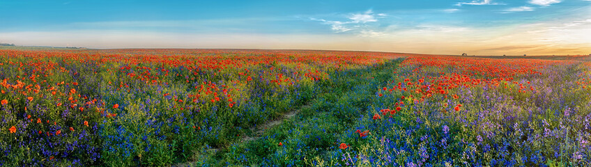 FototapetaBig Panorama of poppies and bellsflowers field with path