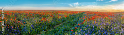 Poster de jardin Poppy Big Panorama of poppies and bellsflowers field with path