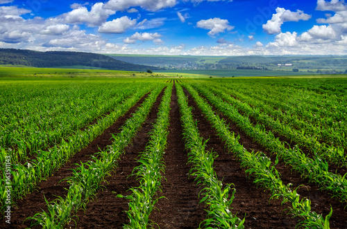 view of lines of young corn shoots on field
