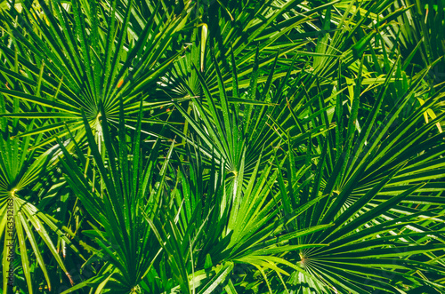 Ingelijste posters Tropische Bladeren The leaves of a palm tree in the jungle. Texture of the leaves of the palm