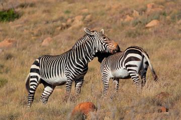 Fototapeta na wymiar Cape mountain zebras (Equus zebra) in natural habitat, Mountain Zebra National Park, South Africa.