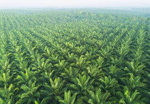 Arial View Of Palm Plantation ...