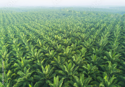 Fotomural Arial view of palm plantation at east asia
