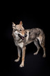 wolf dog on the black background
