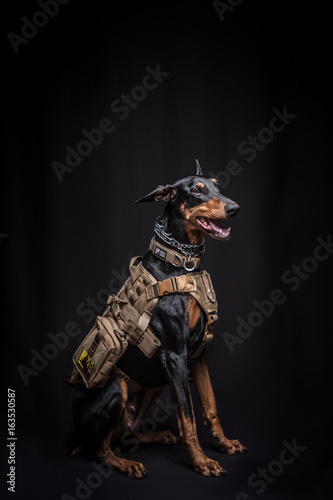 Fényképezés Dobermann Pinscher on the black background