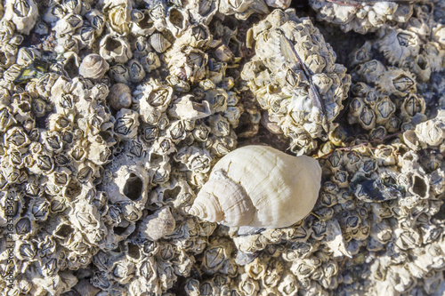 Dog whelk or Atlantic dogwinkle