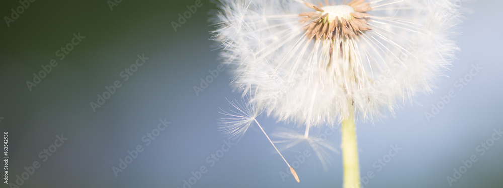 Fototapety, obrazy: Dandelion tranquil abstract closeup art background. Beautiful blowball.